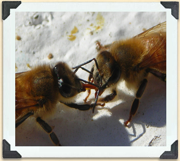 Foraging worker bees transfer nectar to those in the hive; it's then placed in cells that are capped with wax.
