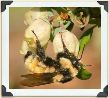 Bumblebees pollinate many crops, but commercially, they are most commonly used for food crops in greenhouses.